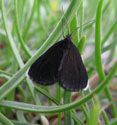 Chimneysweeper Moth.Black with small white tips to wings.