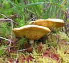 Fungus near edinbane,Skye.