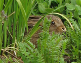 A local hare hiding in the long grass.