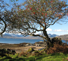 Autumn rowan tree at Ord, Skye.